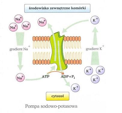 pompa-sodowo-potasowa